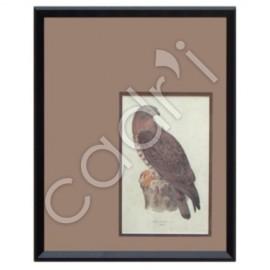Pernis Apivorus (auteur inconnu) - 550x440 mm