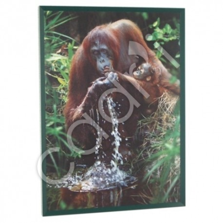 Pongo Pygmaus de Steve Bloom